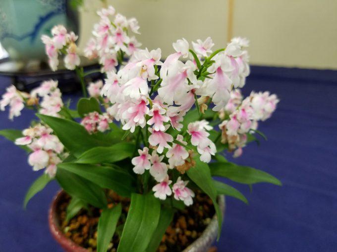イワチドリ ピンク一点花