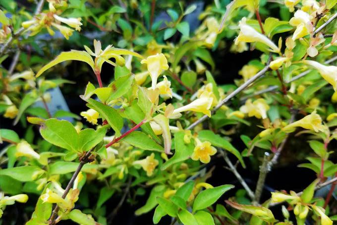 黄花コツクバネウツギ