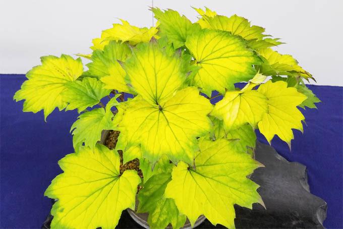 黄金葉のモミジハグマ。なかなか発色しないのですがこれは見事です。