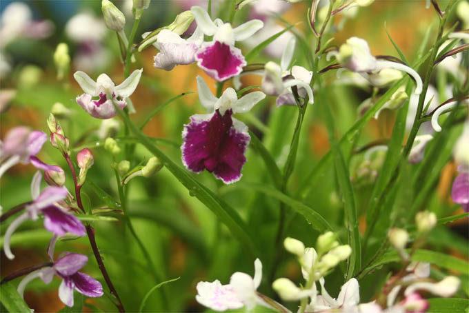 ウチョウラン 秀花