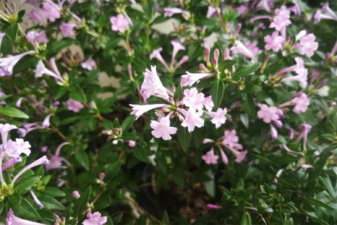 紫丁花 紫水晶