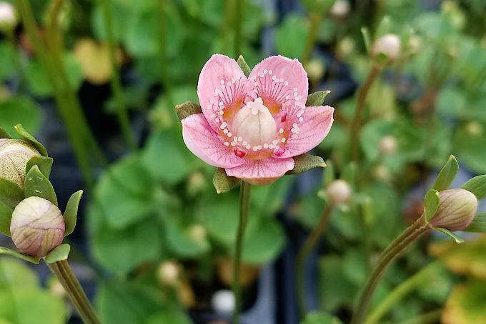 赤花ウメバチソウ
