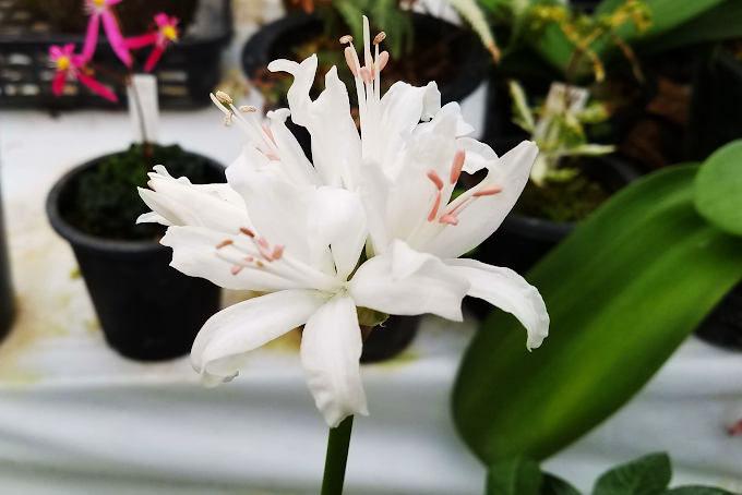 白花ネリネ