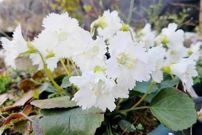 白花イワウチワ